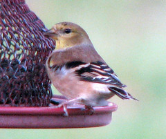 bird birds goldfinch birdfeeder finch finches