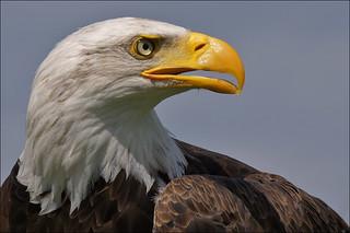 Proud Bald Eagle