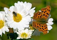 Fly And Butterfly On Autumn Flowers (aeschylus18917) Tags: macro nature japan butterfly insect fly nikon g lepidoptera micro  saitama nikkor f28 vr comma saitamaken diptera koma 105mm insecta  105mmf28 nymphalidae iruma polygonia flowerfly  motokaji papilionoidea nymphalinae  105mmf28gvrmicro saitamaprefecture irumashi  asiancomma  d700 nymphalini nikkor105mmf28gvrmicro   danielruyle aeschylus18917 danruyle druyle    hann hannshi polygoniacareum