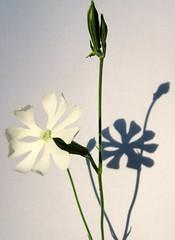 Silene Capensis - Afican Dream root in flower (farmer dodds) Tags: flower dream dreaming silene entheogen caryophyllaceae silenecapensis aficandreamroot sileneundulata