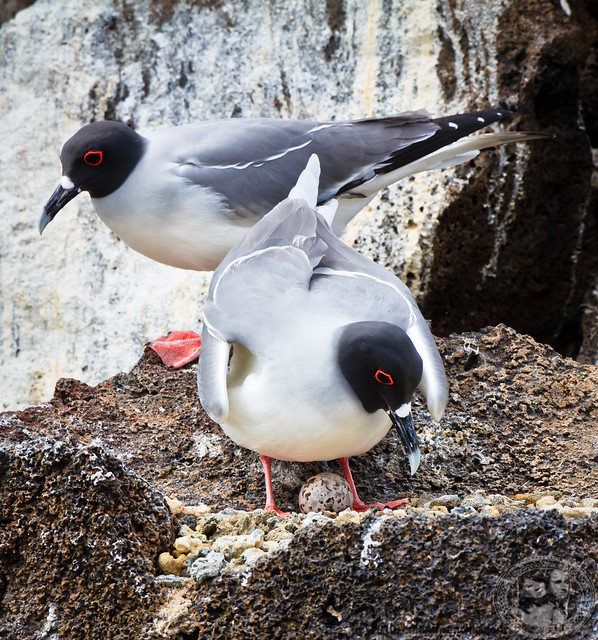 Swallow-tailed Gulls With An Egg