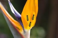 極楽鳥花とバナナ虫