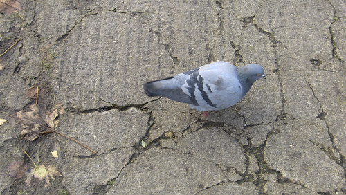 Pigeon Complaining About The Condition Of Blackrock Park