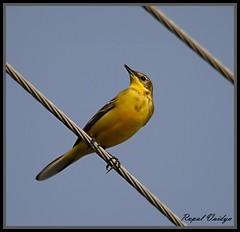 Yellow Wagtail (Motacilla flava)