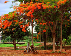 Hang in There (osvaldoeaf) Tags: flowers red brazil orange tree green nature grass landscape petals spring blossoms cerrado flamboyant goinia gois atumn poinciana topshots photosandcalendar wonderfulworldofflowers panoramafotogrfico