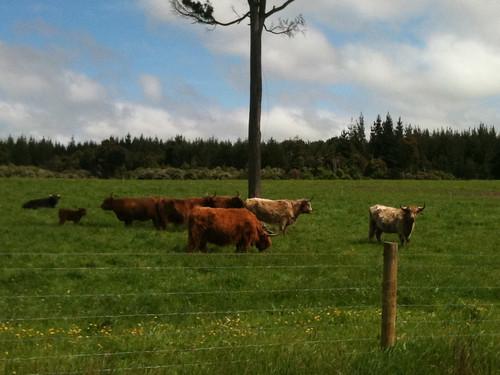 角の長い牛