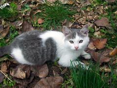 In agguato (cloda) Tags: cats pets animals tiere kittens katzen animali mici gattini
