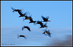 Togetherness (Kevin B Photo) Tags: morning autumn sky usa motion blur color bird fall nature wet beautiful beauty birds horizontal america outdoors photography fly flying wings movement colorful day exterior unitedstates artistic florida native action wildlife south flight wing dramatic calm southern manmade boardwalk daytime fl southeast winged avian wetland boyntonbeach constructed serenitynow wakodahatcheewetlands kevinbarry blackbelliedwhistlingducks 100ypl