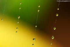 Microcosmo (Carlo Tagliaferri (taglia.carlo)) Tags: macro foglie giallo autunno rosso colori pioggia gocce microcosmo