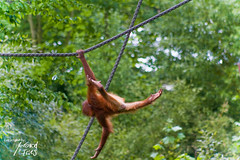 Cliffhanger. (mp.fries) Tags: baby animal germany zoo leipzig orangutan cliffhanger 2010 leipzigerzoo