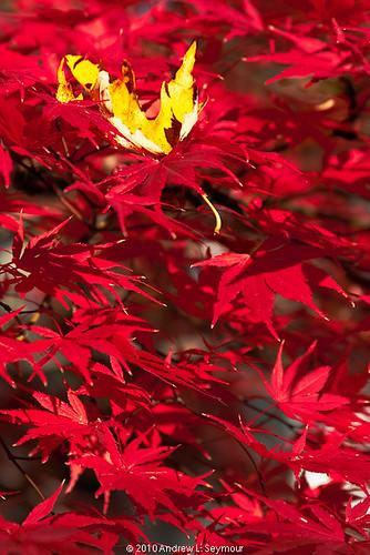 Maple Japanese 101111.033