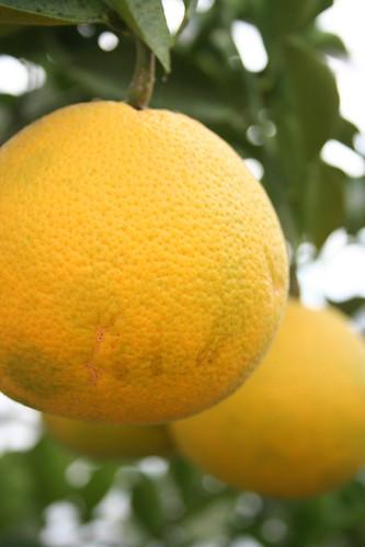 potager NAKANOの柑橘類(その1)