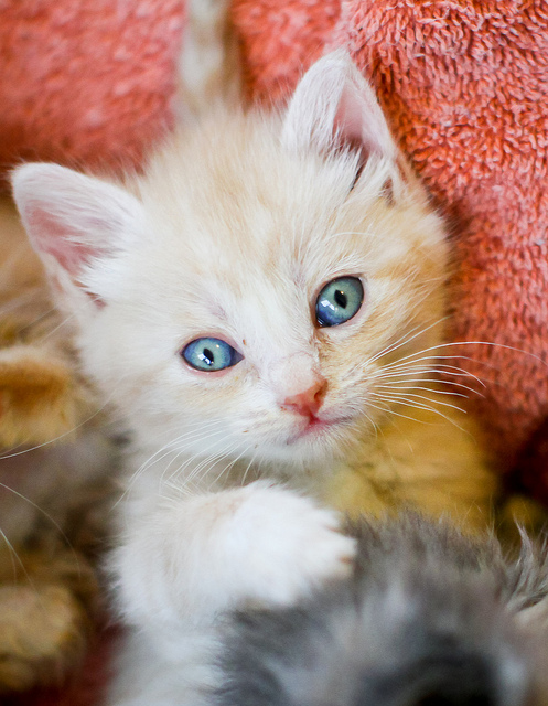 cute cream colored foster kitten