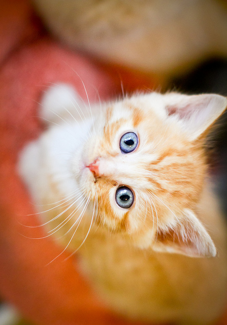 cute ginger foster kitten