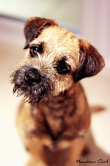 Yes Ok Ok!!! (MeadowGirl) Tags: face that little sweet border bad terrier when pies even lovely wolfy naughtyness