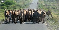 dromedary camels (Linda DV) Tags: africa travel canon geotagged ethiopia 2010 powershots5is lindadevolder