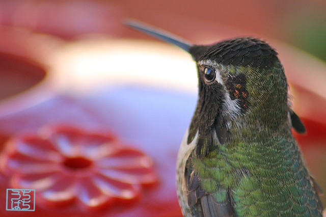 Anna's Hummingbird 112610-4
