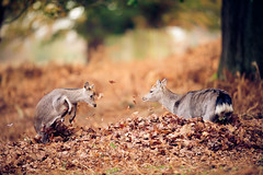 autumn fun (andrew evans.) Tags: morning autumn trees england tree nature fairytale forest sunrise countryside kent woods nikon bokeh wildlife deer ethereal wonderland storybook magical f28 enchanted d3 400mm highqualityanimals