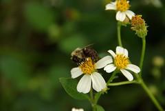 ...to Flower... (Mike Wacht Photography) Tags: park white flower macro green yellow closeup bug insect orlando pentax florida bokeh bee wetlands orangecounty lacosta spanishneedles k10d photobymikewacht