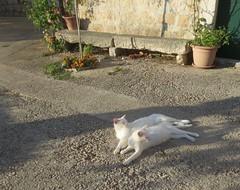 Sunčanje - Sunbathing (Hirike) Tags: mačke cats postira brač hrvatska croatia