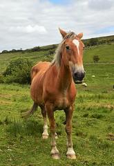 Gentle giant. (carolinejohnston2) Tags: ireland fermanagh irishdafthorse pet animal equine countryside
