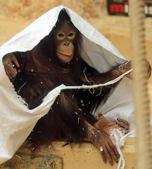 orangutan Ouwehands JN6A3436 (joankok) Tags: orangoetan orangutan sumatra sumatranorangutan sumatraanseorangoetan ouwehands animal asia azie aap ape mammal monkey mensaap zoogdier dier
