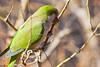 Cotorra_10 (capicua56) Tags: animales cotorra