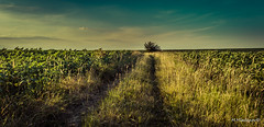Vintage memories (Milen Mladenov) Tags: 2017 bulgaria landscape northwest smedovpeak smedovets varbovchets blue clouds countryside evening forest green mountain nature postcard road sky sunset tree view vintage