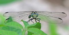 Eastern least clubtail, female (Stylogomphus albistylus) (Vicki's Nature) Tags: leastclubtail easternleastclubtail small tiny dragonfly black blueeyes wings jbowens georgia vickisnature canon s5 0979