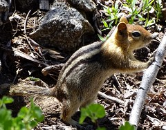 Golden-mantled Ground Squirrel--Spermophilus lateralis (Polioptila caerulea) Tags: goldenmantledgroundsquirrel squirrel spermophiluslateralis spermophilus nevadacounty california euervaley