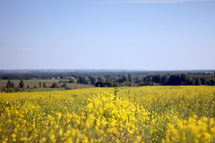 Fields Of Gold (gráce) Tags: nature landscape field vast horizon wideopenspaces helios442 ussrlens canon canoneos550d