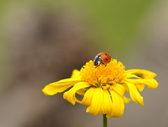 ladybird (maar73) Tags: ladybird lieveheersbeestje flower nature natuur maar73 macro sony sigma105mm garden summer