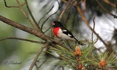 cardinal à poitrine rose- rose-breasted grosbeak-Pheucticus ludovicianus (ricketdi) Tags: bird cardinalàpoitrinerose rosebreastedgrosbeak pheucticusludovicianus coth5 sunrays5 ngc npc
