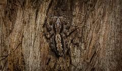 Clynotis severus (dustaway) Tags: arthropoda arachnida araneae araneomorphae salticidae clynotisseverus jumpingspider australianspiders tallowwood spideronbark goonellabah northernrivers nsw nature australia natur spinne araignee