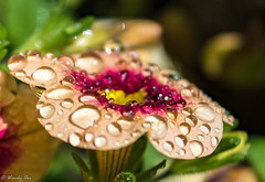 Bejeweled (Wendy Oor) Tags: flower flowers pink daisy garden outdoors yard summer nature beautiful water dew droplets