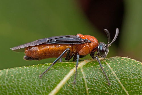 ... a side view - Sawfly | 三節葉蜂...