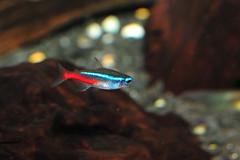 DSC_6804_resize (Gary Cheung SY) Tags: fish neon neontetra