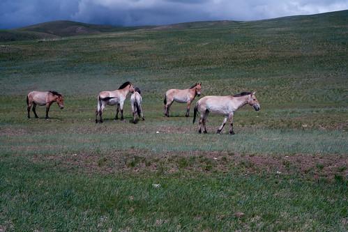 Przewalski hester