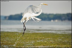 Elegance In Motion (www.matthansenphotography.com) Tags: white seaweed bird nature water alexandria animal inflight wildlife drip elegant splash takingoff egret potomacriver avian greategret plumage shorebird ardeaalba bellehaven dykemarsh matthansen