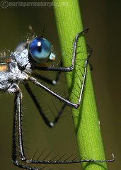 Here's looking at you blue eyes! (M.D.Parr) Tags: uk england english nature water wow insect natural dragonflies dragonfly britain wildlife insects british hertfordshire herts odonata martinparr naturephotos lens00025 natureimages shieldofexcellence