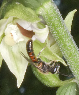 Mangeurs de pollen à orchidées 4949616950_bf20ef9062