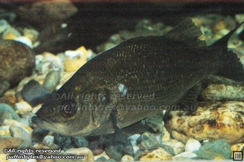 Estuary perch - Macquaria colonorum