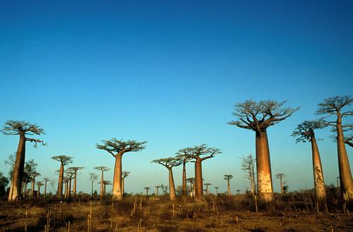 Madagascar Baobab Trees Sky Blue Peace Landscape Africa Morandava
