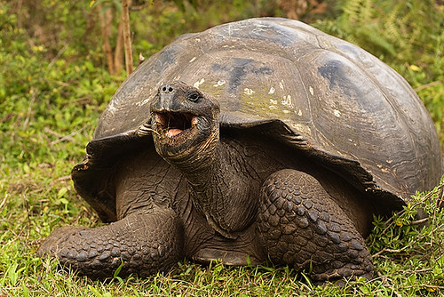giant tortoise, tortuga