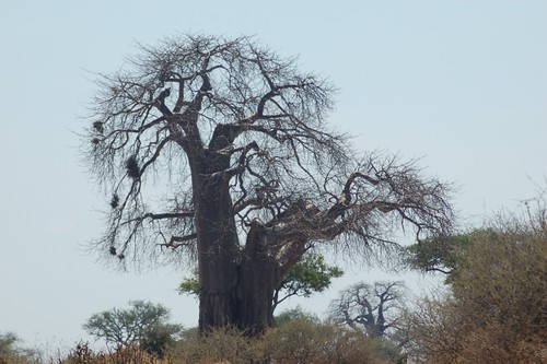 embondeiro </P> <P>baobab