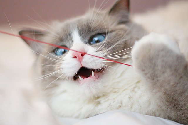 cute cat sees a string ragdoll playing with a toy