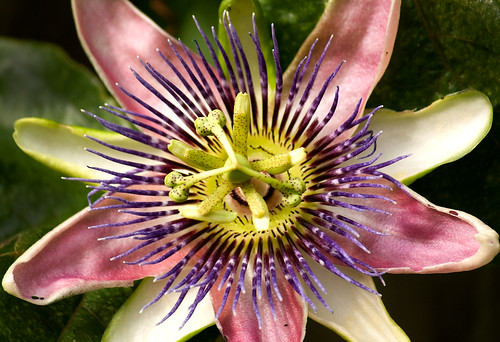 Passion Flower by MiqsPix , on Flickr