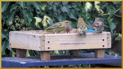 Greenfinches 1