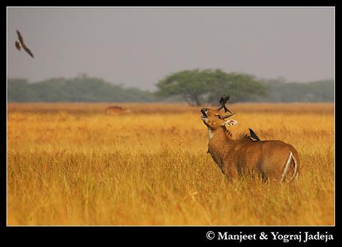 Drongos mobbing Nilgai (Boselaphus tragocamelus)