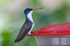 IMG_3489 Violet-crowned Hummingbird (lois manowitz) Tags: arizona birds hummingbirds